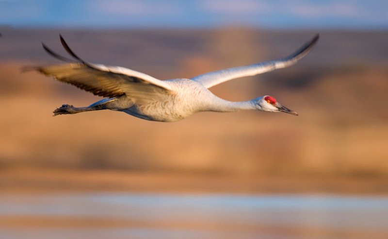 Sandhill Crane in Flight.jpg