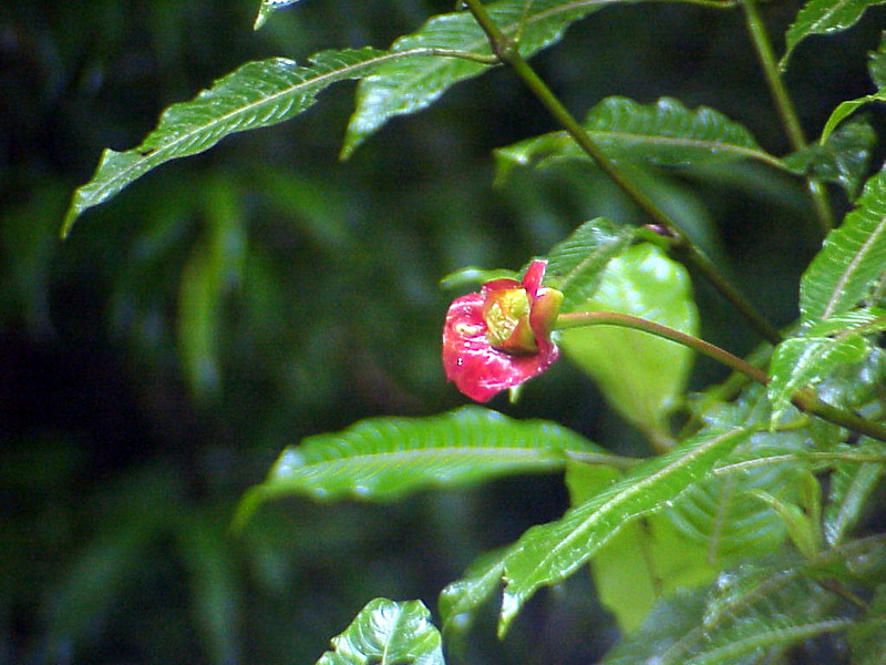 Hot Lips at La Paz Waterfall Gardens Costa Rica 2-10-03 (50898161)