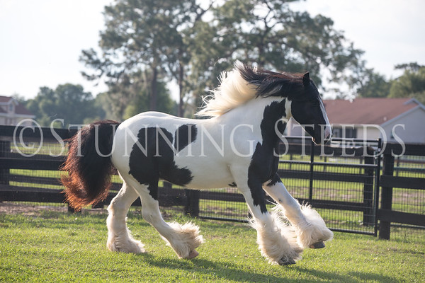 SterlingShire Stables - GMF Scirroco