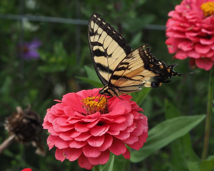 Tiger Swallowtail, male