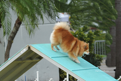 Greater Miami Dog show with agility