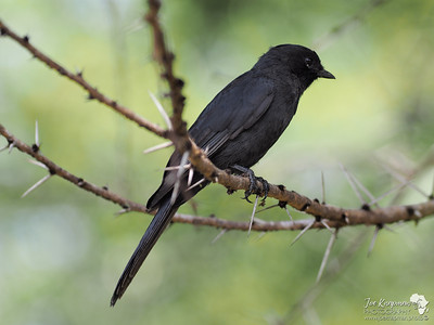 Black Fly Catcher
