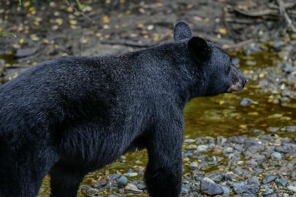 8-07-14 Black Bear Diving