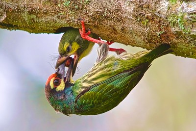 Coppersmith Barbet feeding chick