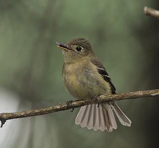 Yellow-bellied Flycatcher, Empidonax flaviventris
