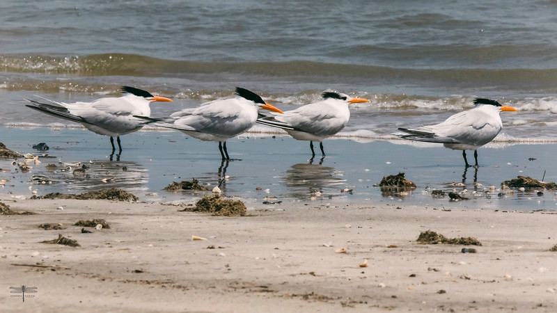 Terns Four_Bolivar_664A8952.jpg