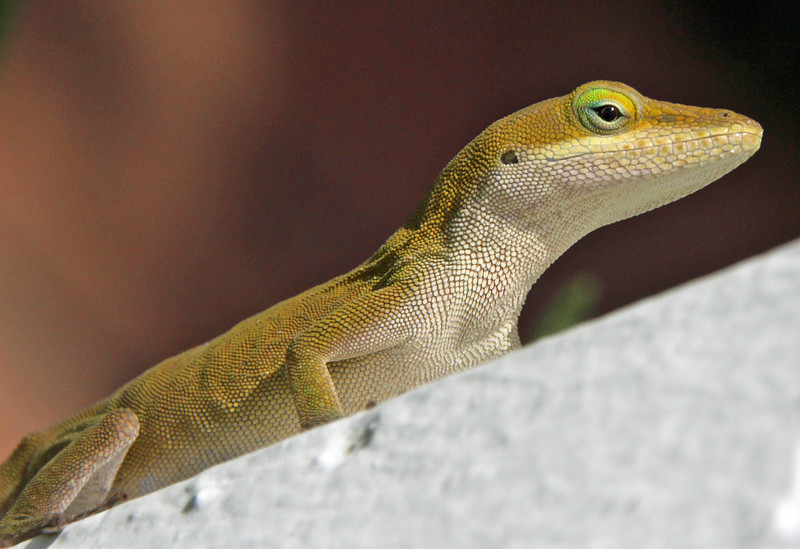 Green Anole 8