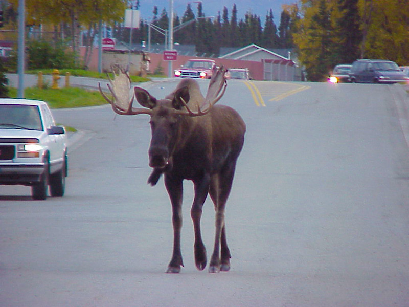 Sharon's Moose-9-26-03-13a.jpg