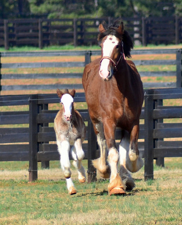 Classic City Clydesdales