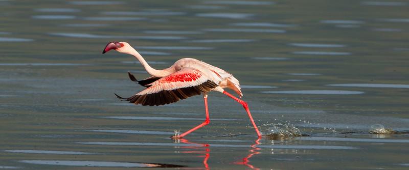 Lesser Flamingo; August 31, 2012; Lake Bagoria National Preserve, Kenya