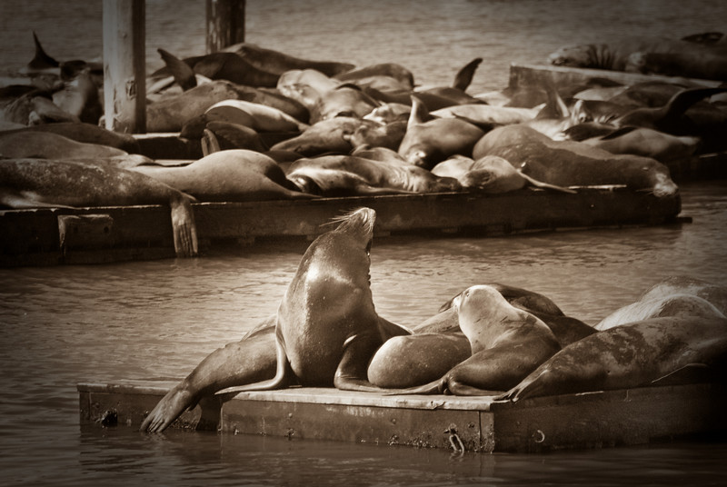 Seals on the dock by Pier 39 in San Francisco