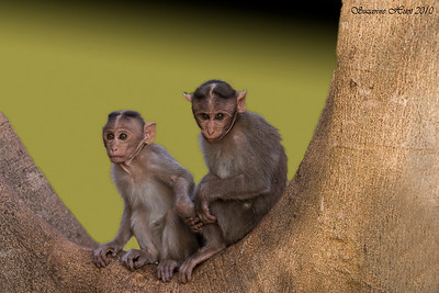 Monkeys,Macaques and Langurs