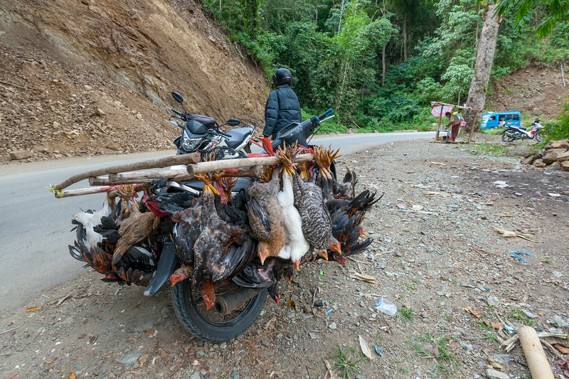 Hens on transport, Flores, Indonesia, May 2014