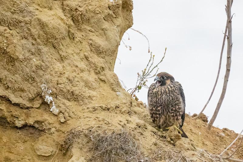 Peregrine Falcon - La Jolla, CA, USA