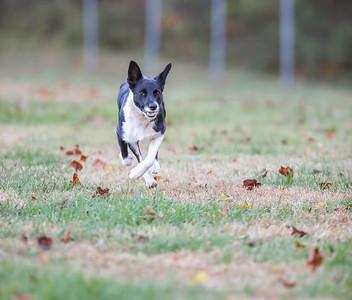 Lure Coursing at Hog Dog - 11/4/18 (final)