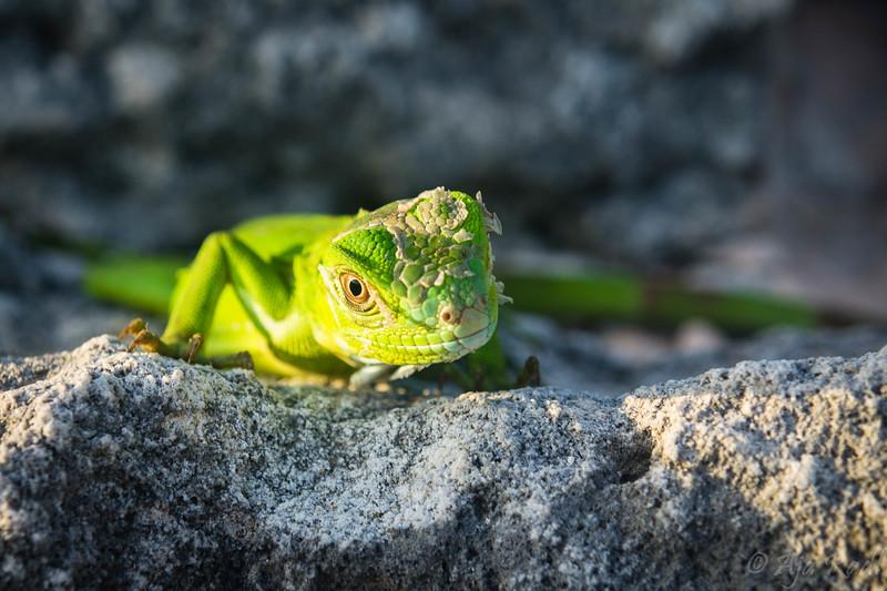 Baby Iguana.jpg