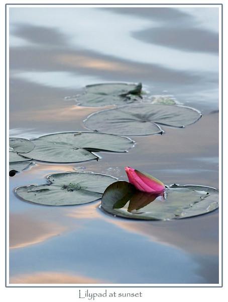 Lilypads at sunset