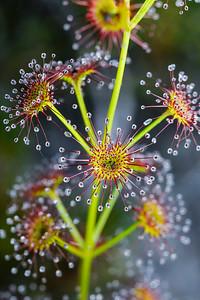 Droseraceae - Sundew