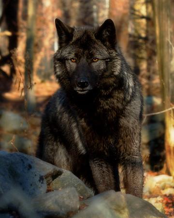 Lakota Wolf Preserve (NJ, USA)