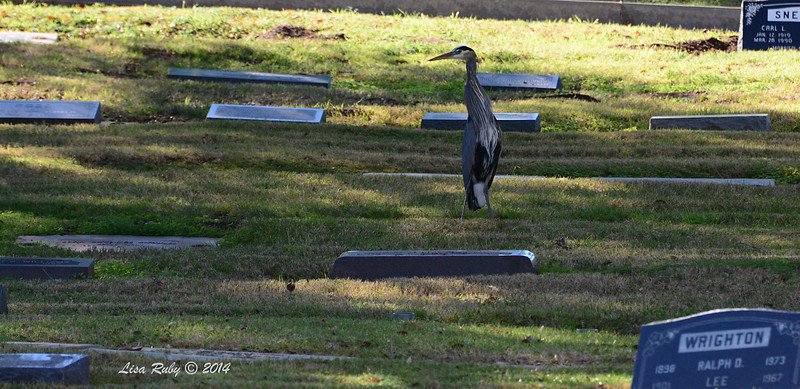 Great Blue Heron - 2/7/2014 - Oak Hill Memorial Park, Escondido. This was such a strange sight seeing this Heron standing in the middle of all of these head stones.