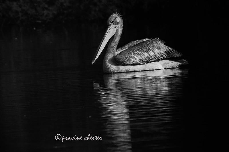 Pelican in the water
