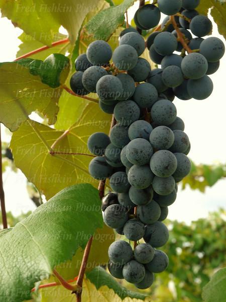 Grape bunch.jpg