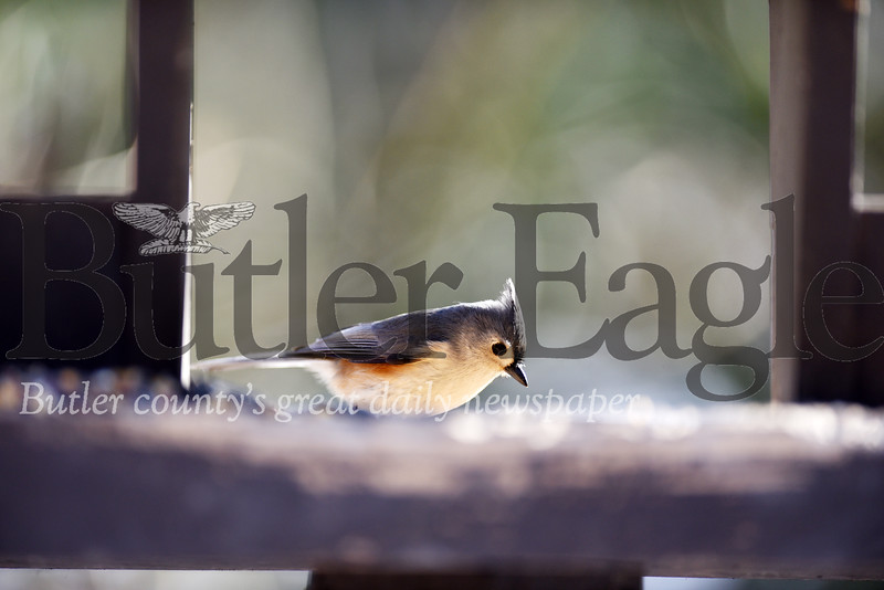 Harold Aughton/Butler Eagle: Tuft Titmouse at Jennings Environmental Center