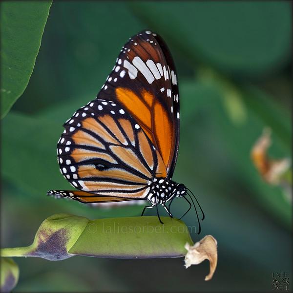 Monarch - Danaus plexippus .jpg
