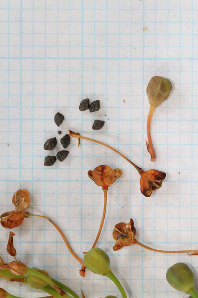 Bulbine - seed