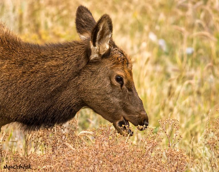 Hungry Female Elk