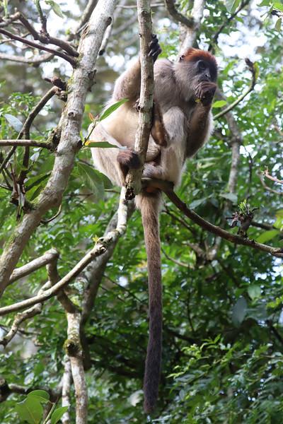 Ugandan red colobus