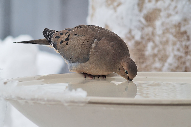 Tourterelle Triste s'abreuvant à mon bain d'oiseau en hiver. / Mourning Dove drinking on a winther day at the wather bath in my yard.