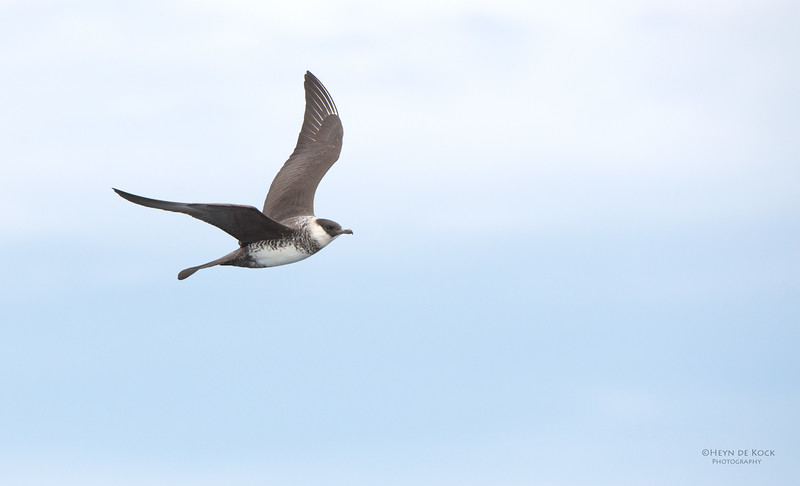 Pomarine Jaeger, Wollongong Pelagic, NSW, Aus, March 2013-2.jpg