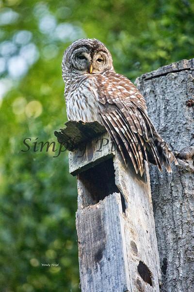 Owl  (38)