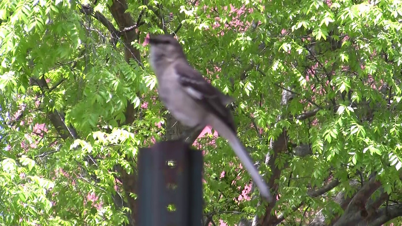 Short video of a Mockingbird singing a wide variety of different sounds. My apology for the out of focus portion. If you listen closely, you can here in the background the other Mockingbird(s) he is talking to. He was not afraid of us whatsoever.