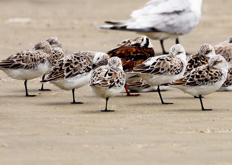 We run across great flocks of baby Ruddy Turnstones.