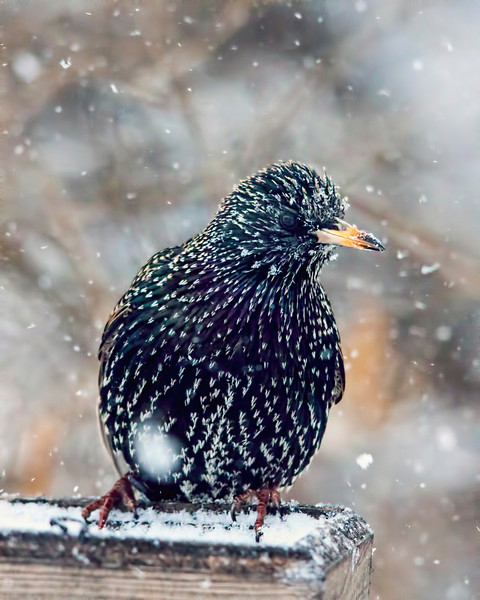 Taken a couple weeks ago in that blizzard that went through the Midwest. One of the best times for me to shoot birds in the backyard is during a snow storm. The birds are so desperate to feed they pay no attention to me.  Good thing because my blind has been whipped to pieces and more of me is showing than hidden. They don't make those things to last. 1.18.14