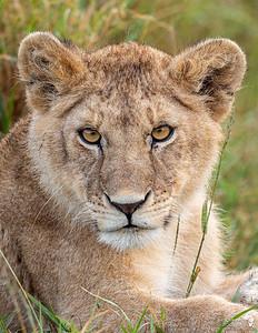Lionn Cub Portrait
