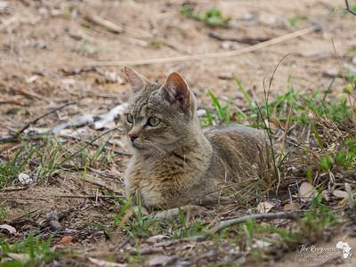 African Wildcat attentive