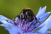 Bee on blue flower in a field near Rodenbach, Germany. © 2004 Kenneth R. Sheide