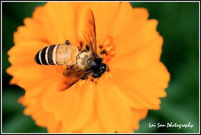 20060716 - Bees in Laman 2006