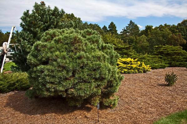Genus Pinus - Pine trees