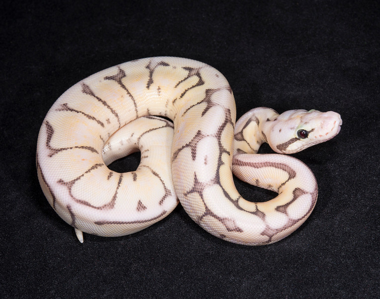 067FKBF, female Killer Bee Fire, $400