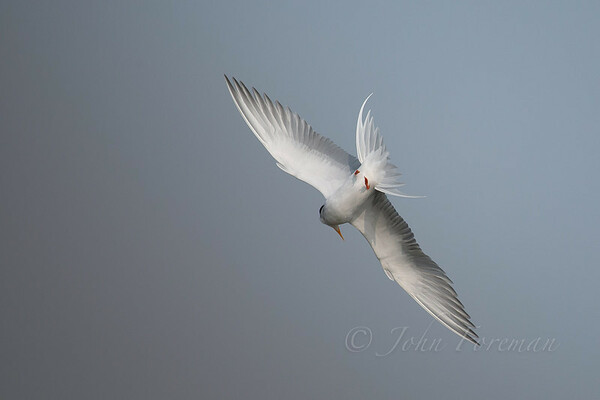 River Terns