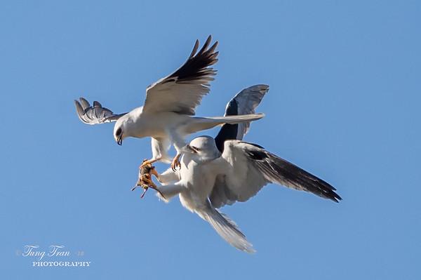 White tailed kites food transfer