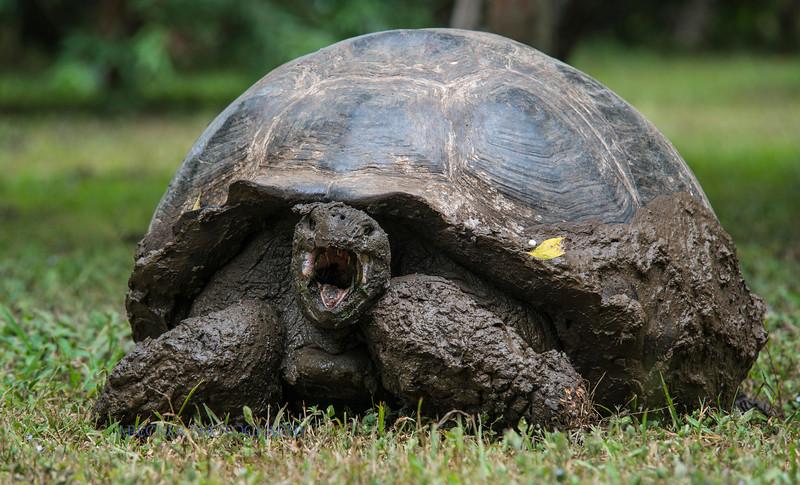 Muddy tortoise.jpg