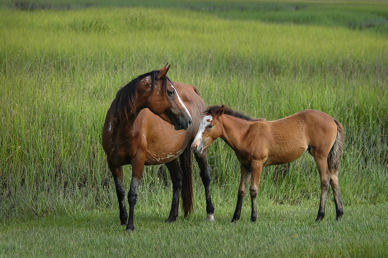 Wild Horse Mare and Foal  in Salt Marsh CI