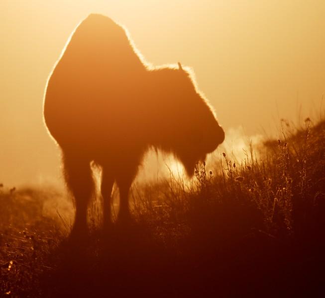 Bison backlit sunrise Teddy Roosevelt National Park ND IMG_5996.jpg