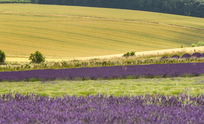 Lavender Field 1