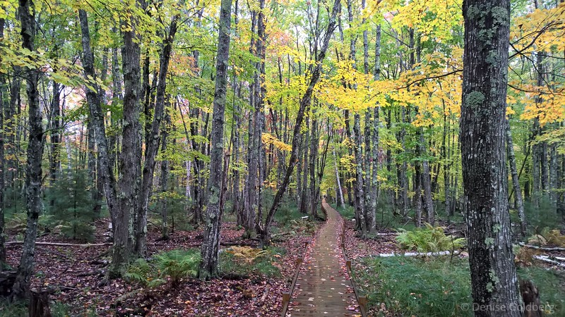 boardwalk wanders through trees wearing autumn color
